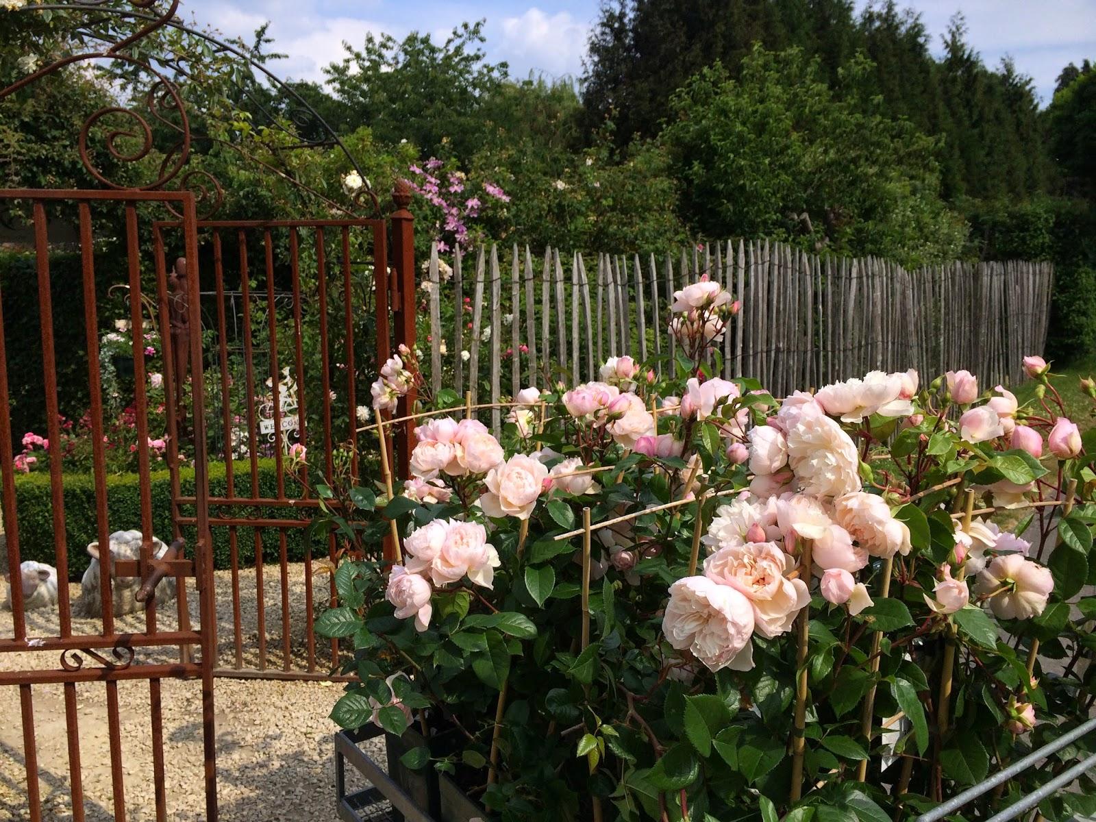La passion des rosiers la p pini re fil roses rosiers en pots ou en racines nues c 39 est la - A quel moment tailler les rosiers ...