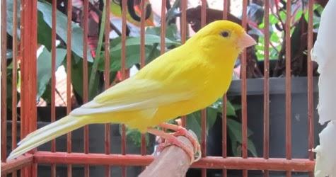 Budidaya Burung DIJUAL KENARI TAIWAN DI JAKARTA SELATAN