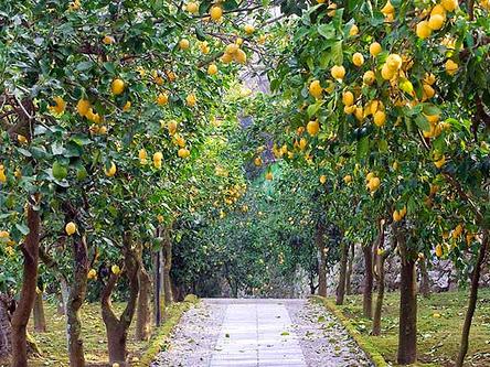 Just Yellow lemon Tree