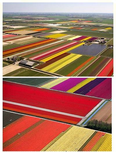 Tulip Fields,Netherland