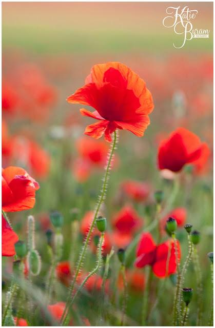 poppy fields, poppy photos, northumberland wedding, katie byram photography