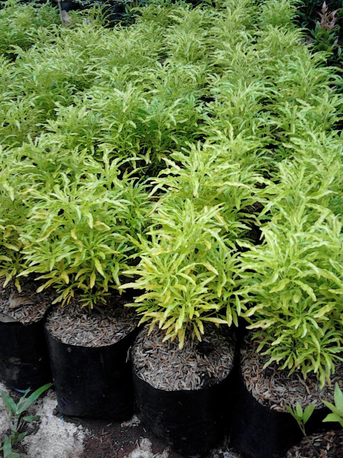 Jual pohon Brokoli Hias | tanaman hias | jasa tukang taman