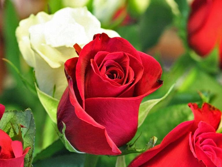 happy rose day shayari collection.jpg
