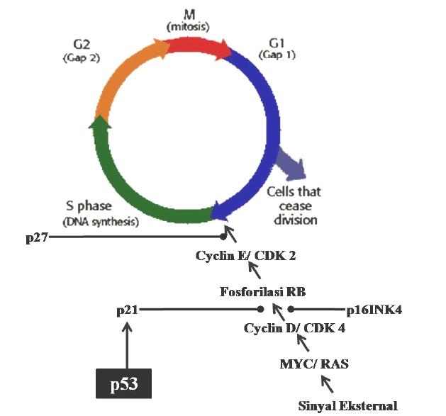 Proses siklus sel pada mamalia dan peran p53 dalam siklus sel ccuart Images