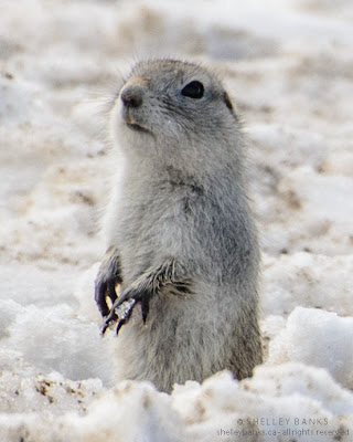 Richardson's Ground Squirrel, aka gopher, with snowball in his paw. photo  © Shelley Banks, all rights reserved.