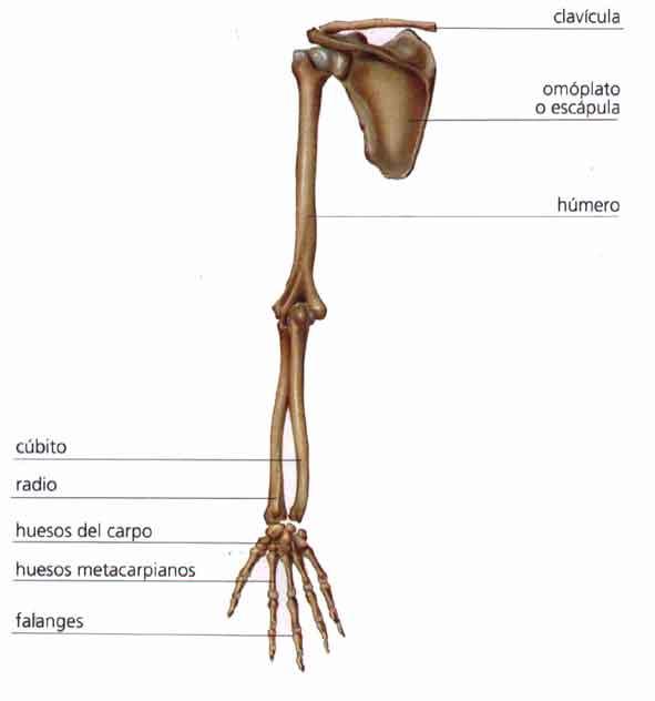 Los huesos de las extremidades | El Cuerpo Humano