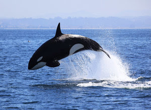perbedaan-hiu-dan-paus.jpg