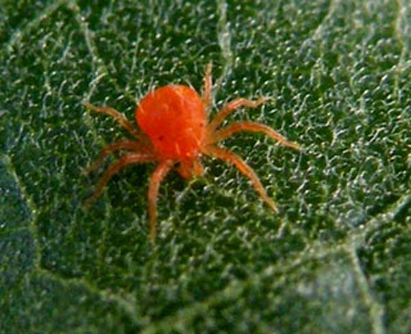 Red spider mites - photo#4