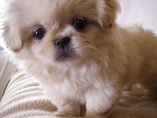Pekingese Wallpapers