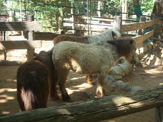 dwarf horses in zoobic safari