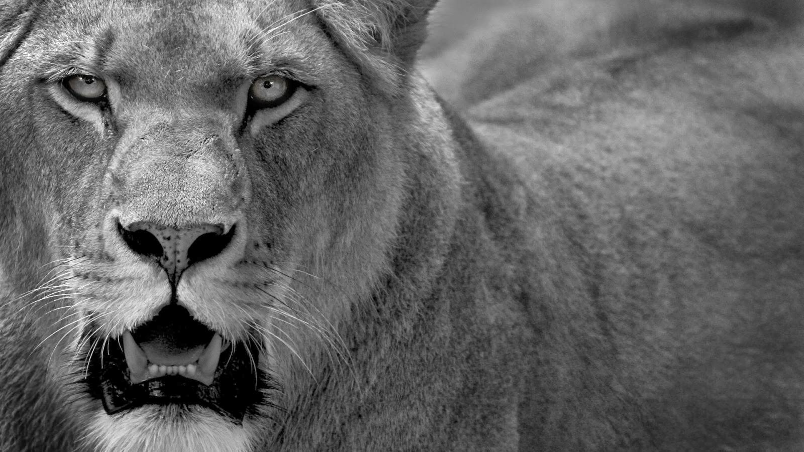 image gallery of black lion wallpaper desktop