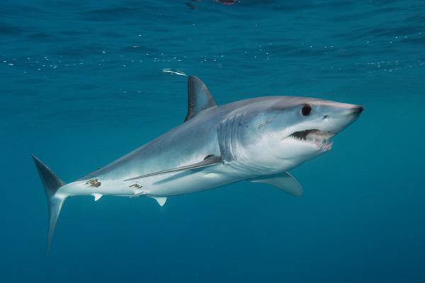 Mako Sharks   Fun Anim...