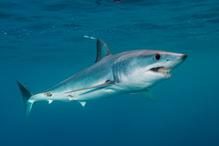 Mako Sharks Wallpaper