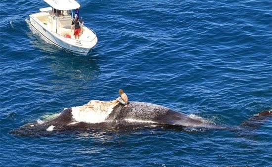 surfista austrália sobe em baleia