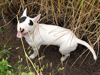 Bull Terrier บูลเทอร์เรีย แพนด้า แพนเค๊ก