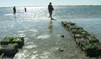 Oyster beds in New York Harbor