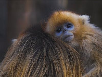 Hình ảnh những chú khỉ dễ thương, ngộ nghĩnh
