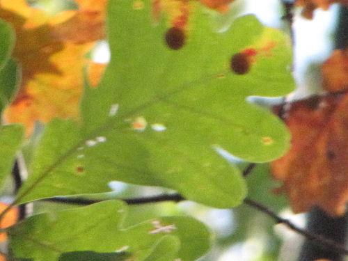 succulent oak gall
