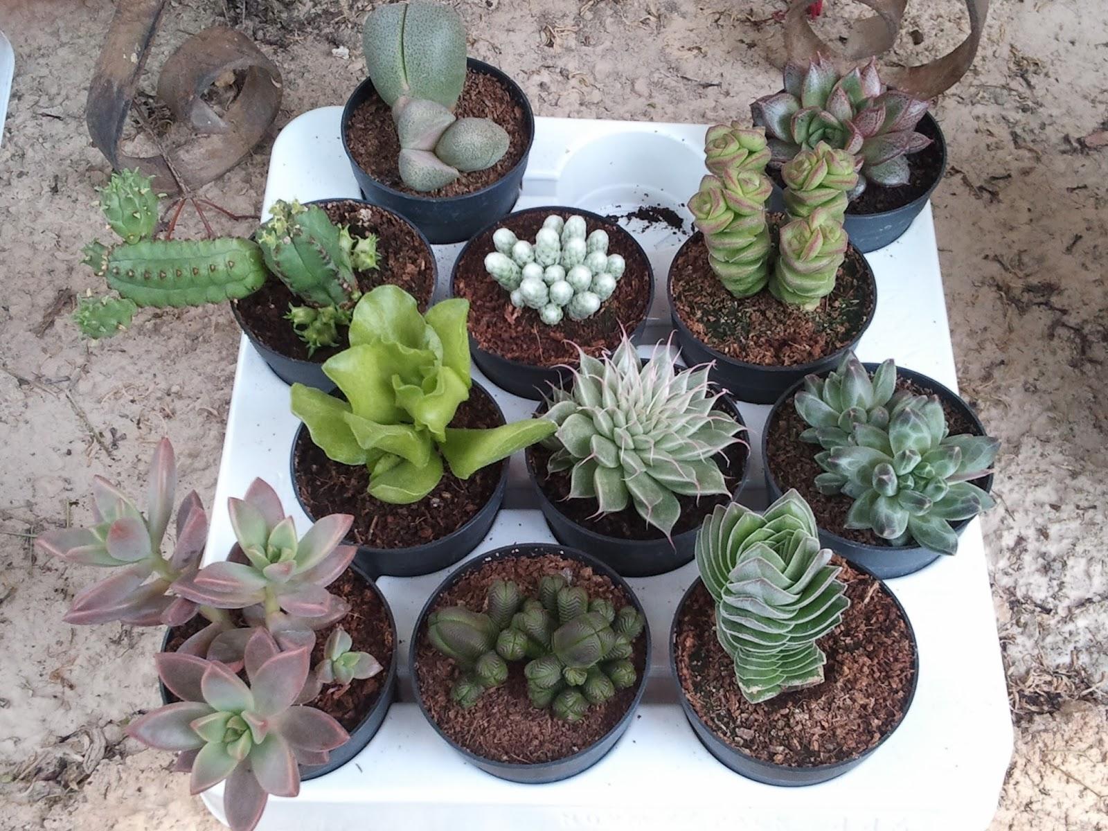 Plantas para jardines mediterr neos crassula pyramidalis - Plantas de sol directo para jardin ...