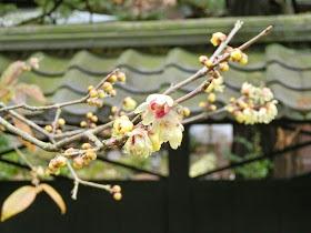 東慶寺のロウバイ