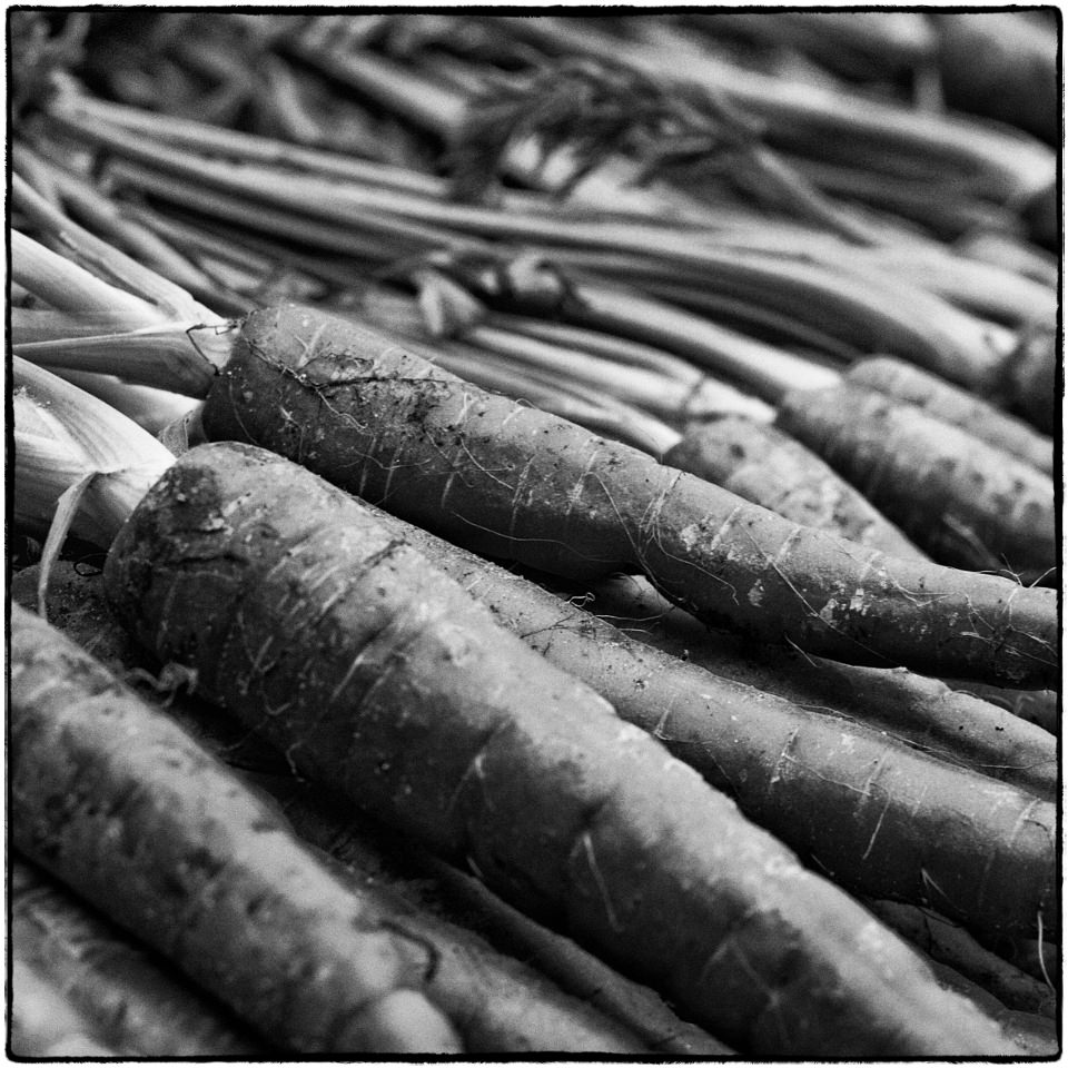 Frisch geerntete Karotten / Möhren.