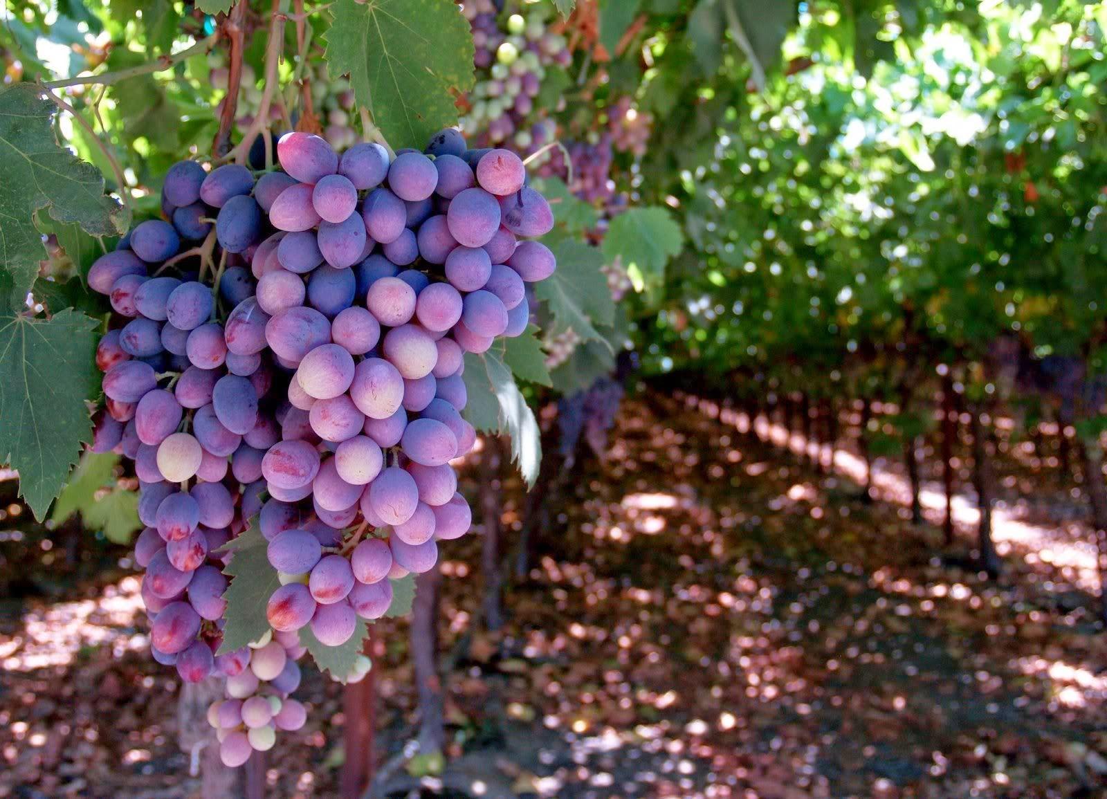 jak zrobić domowe wino z winogron przepis