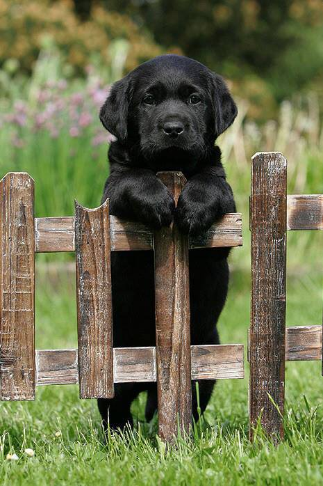 Temperament and Personality of Labrador Retriever