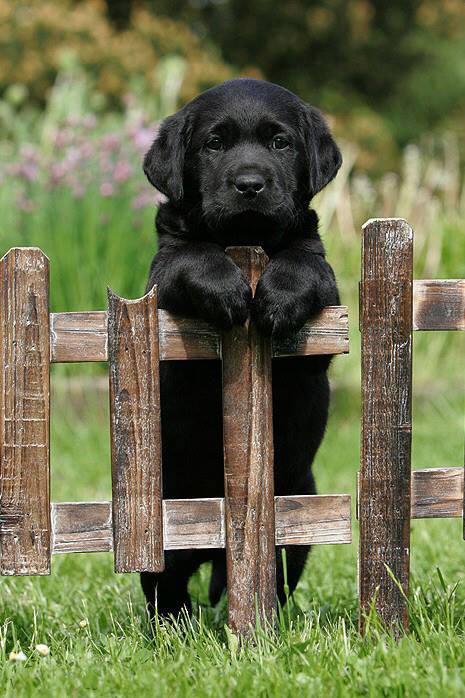 Temperament and Personality of Labrador Retriever