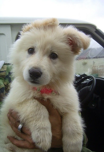 A white german shepherd ... Want