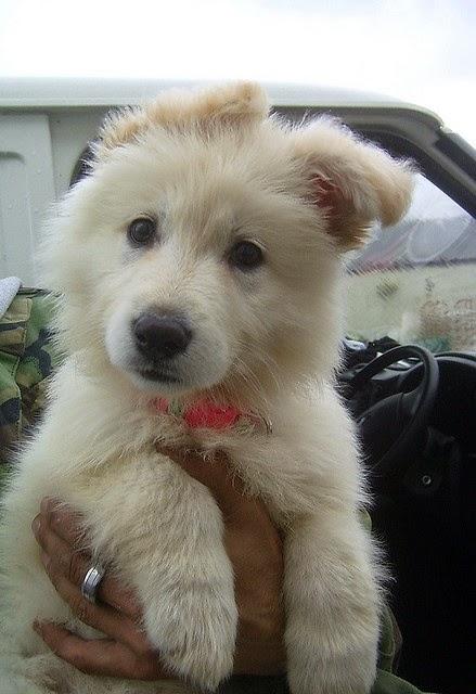 A white german shepherd ... Want