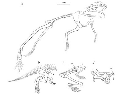 Prosalirus skeleton