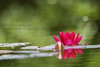 macro nénuphar plante aquatique rose sur l'eau