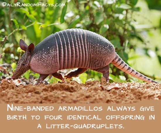 animal facts, facts about animals, interesting animal facts, armadillos fact