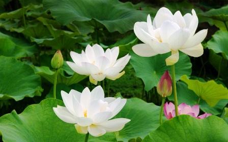 Hình ảnh hoa sen đẹp nở rộ khiến người xem say mê