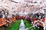 เทศกาลชมดอกซากุระบานที่จินแฮ