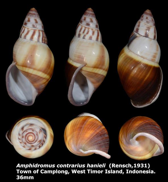 Amphidromus contrarius hanieli 36mm