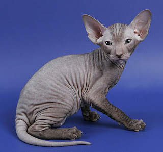 sphynx cat information pets kitten animal domestic gatto