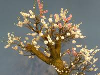一つの枝から紅白の花が咲くという盆梅「輪違い」