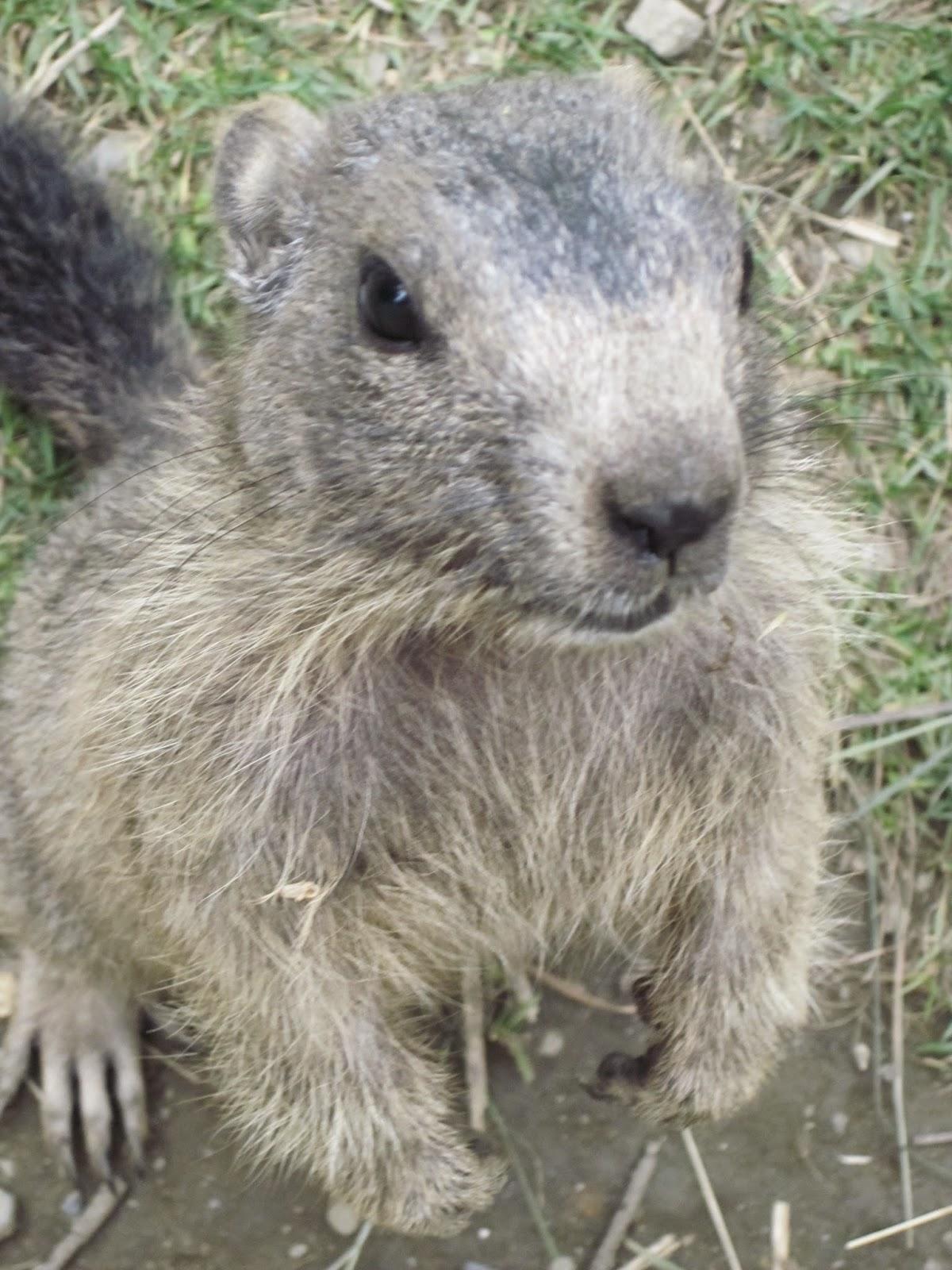 animal marmota