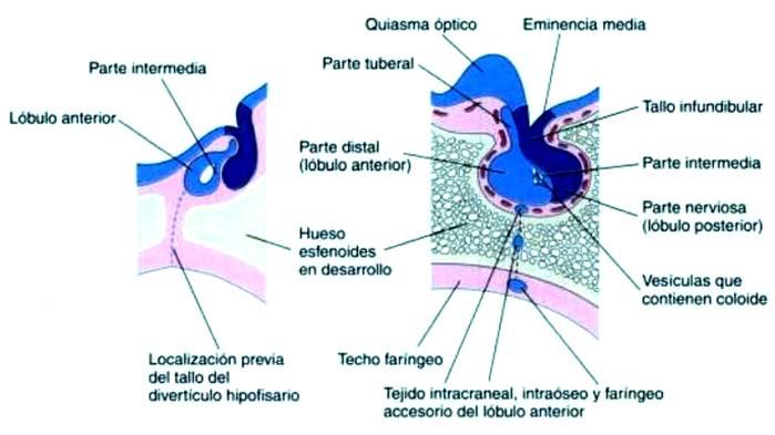 Hipófisis | Endocrinología Ginecológica