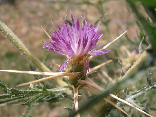 CARDO ESTRELLADO: Centaurea calcitrapa