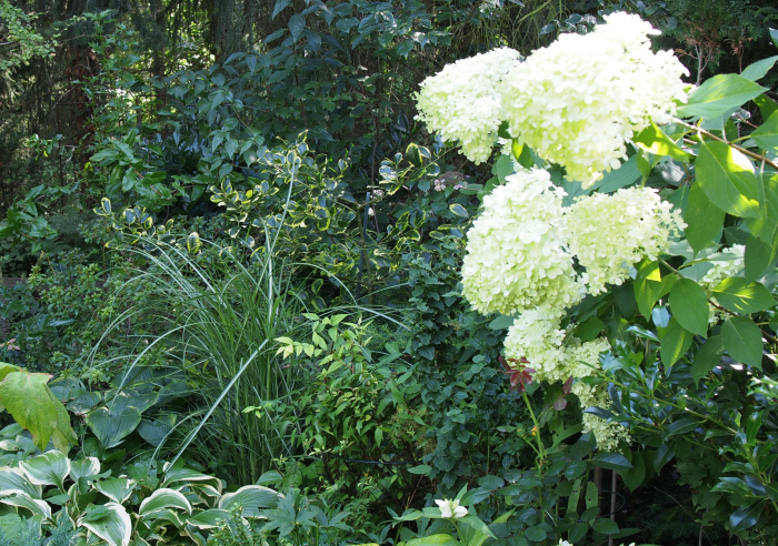hydrangea paniculata die rispenhortensie 39 limelight 39. Black Bedroom Furniture Sets. Home Design Ideas