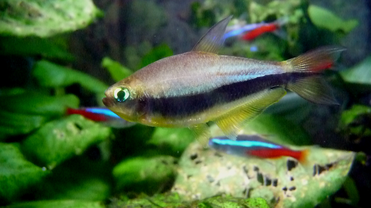 Fish Pictures: Emperor tetra - Nematobrycon palmeri