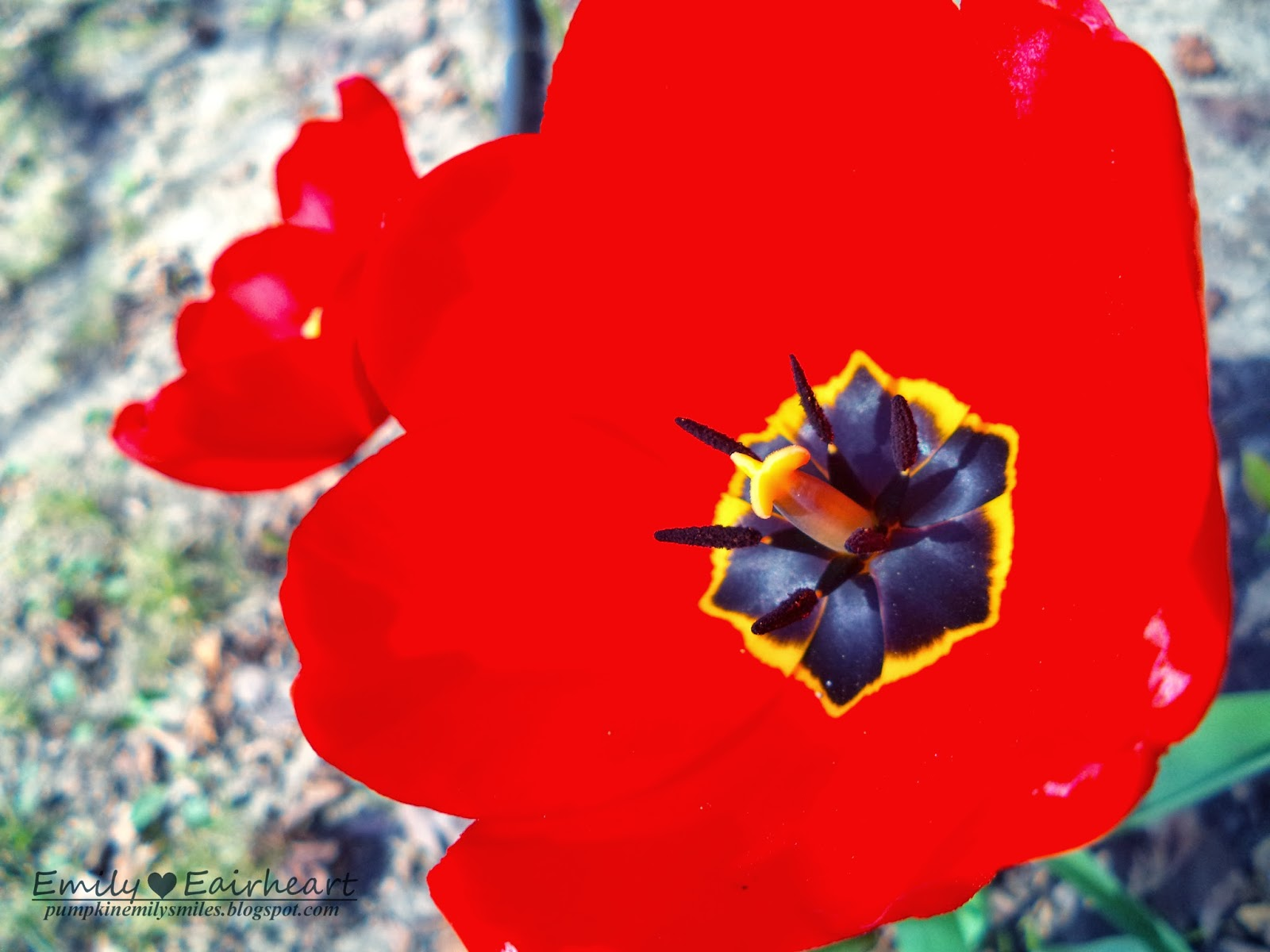 A close up of one of the red Tulips and a red Tulip in the background.