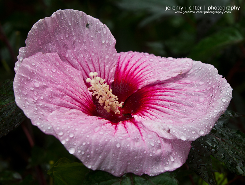 jeremy richter photography blog pink giant hibiscus. Black Bedroom Furniture Sets. Home Design Ideas