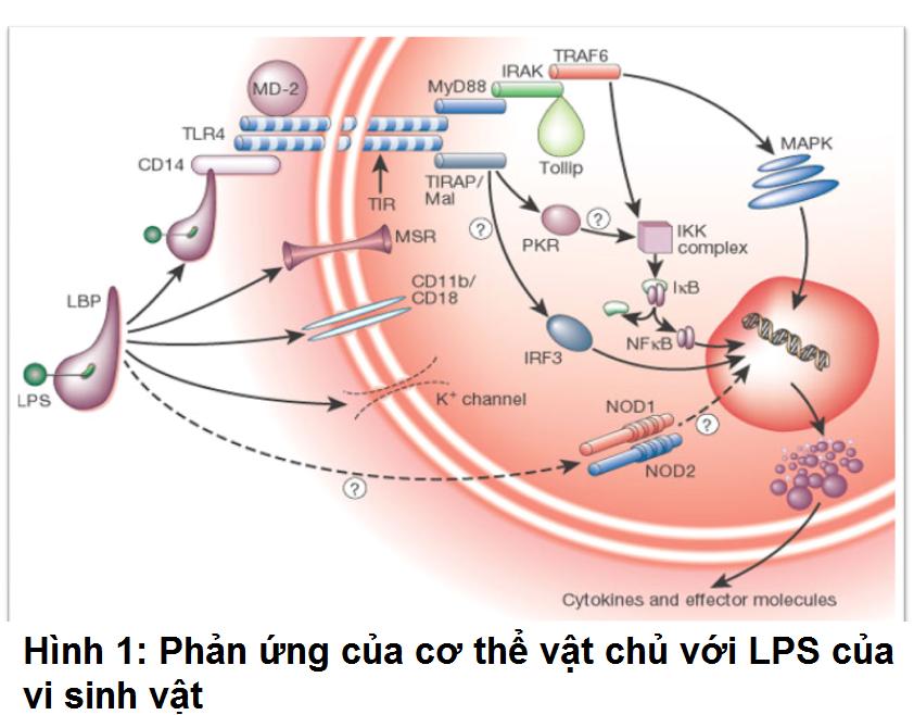 Phản ứng của cơ thể vật chủ với LPS  của vi sinh vật