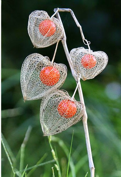 makulay/flowers growing chinese lantern plant, Beautiful flower