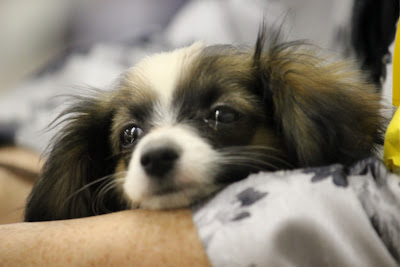 drop eared papillon