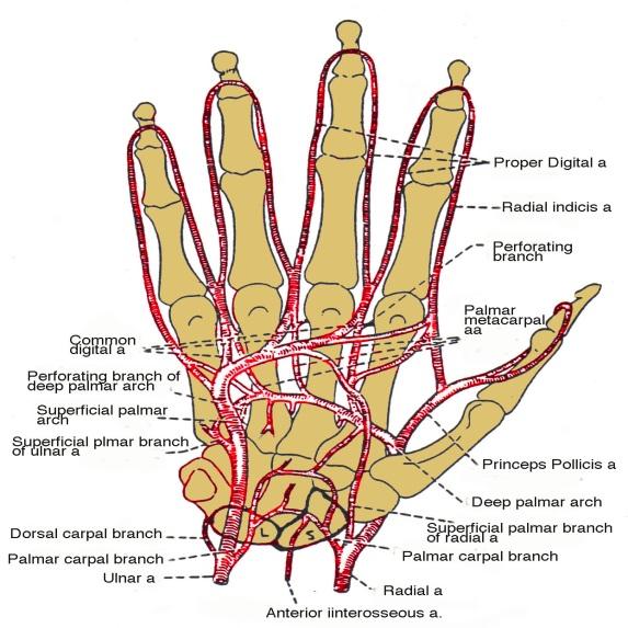 Hand Blood Supply-4.bp.blogspot.com