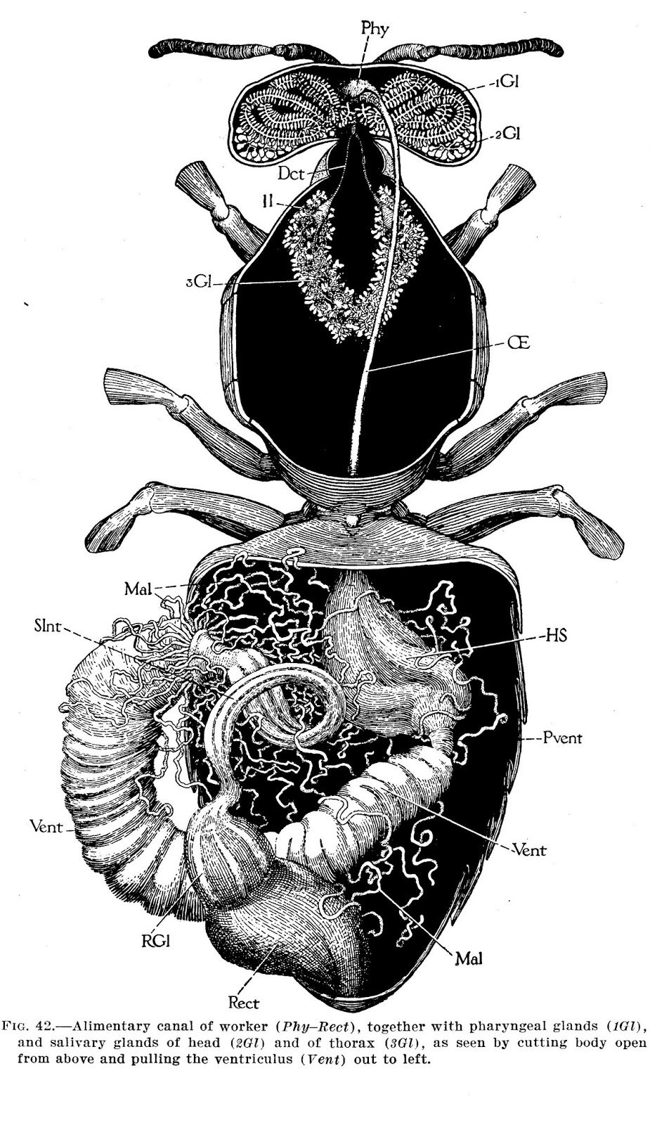 Bee Bugs Illustrations From Anatomy Of The Honey Bee By Robert E
